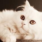 飼い主さん必見!ペルシャ猫の特徴や飼い方について