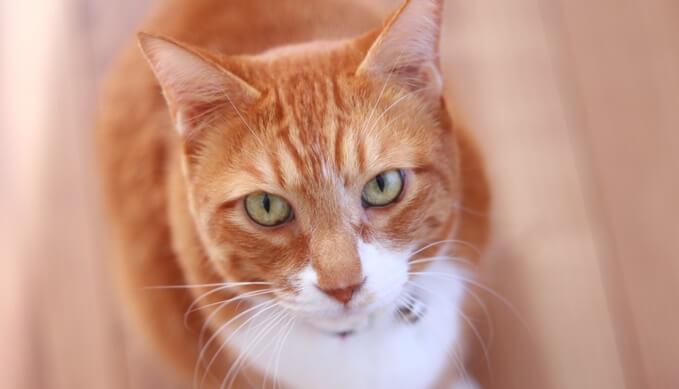 成猫の特徴