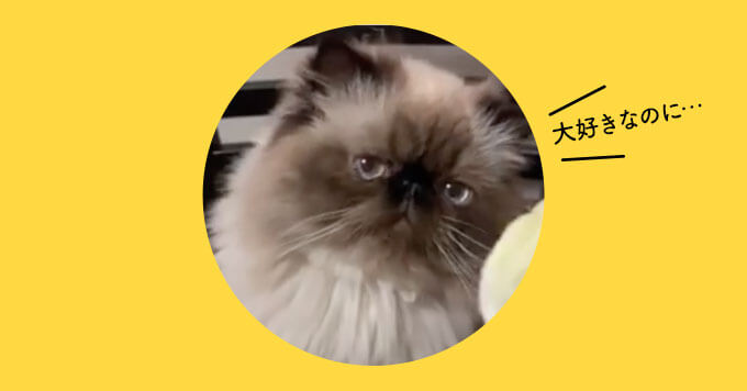 【白菜大好き猫】好きなのに全然たべられな~い…癒し動画発見!