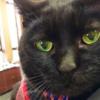 【看板猫】会えたらラッキー♪お客様の手をペロぺロ舐める接客で話題の「のんこネコ店長」