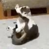 【猫のくるりんぱ】でんぐり返しご披露!の猫さんと無反応な猫さんがジワります…