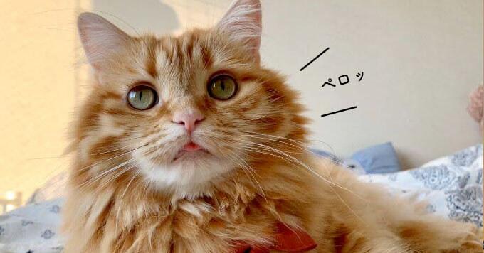 【舌ちょいペロ猫】圧倒的癒し…心お疲れの方をニヤニヤの世界へ誘います