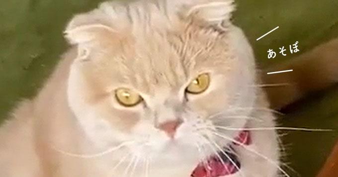 【まるもふ猫】そのまんまるさが大人気!遊ぼ圧は強めです