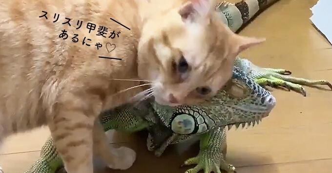 【猫×イグアナ】イグアナのイボイボにすりすりが止まらない猫!異種カワ~