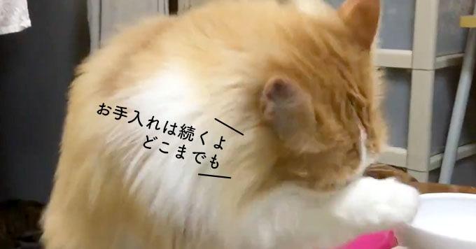 【人気の3にゃんず家族】末っ子くんはお手入れ長めのもふ猫BOY~