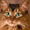 飼い主さん必見!ソマリの特徴や飼い方について【ソマリの飼い主さんの声もご紹介】