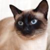 飼い主さん必見!シャム猫の特徴や飼い方について【シャム猫の飼い主さんの声もご紹介】