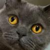 【ブルーグレーのもふ猫さん】表情豊かで渋めの魅力!癖になる可愛さ~
