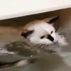 縦横無尽「猫型ねずみ花火」な子猫さん…とうとう泳ぐ!