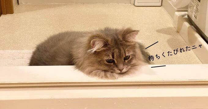 【ふわもふ猫】ひたむきに飼い主の風呂をじっと待つ美少女猫さん