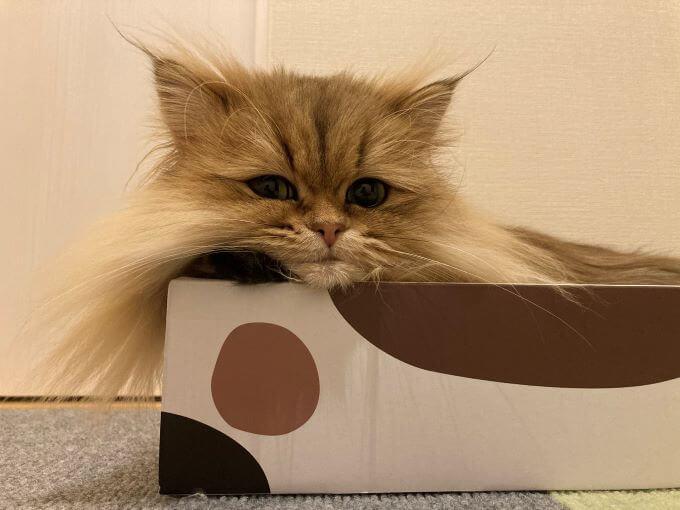 猫のむふぁたん