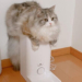 ふわふわボディの猫さん~ごはんの待ち方が積極的でクセ強め~