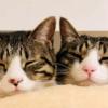 【保護猫の兄妹】生まれた時からずっと一緒~可愛く仲よく成長中!