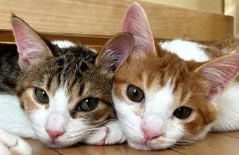 姉弟なかよし猫「ずっとのおうち」で幸せに暮らす元保護猫さん